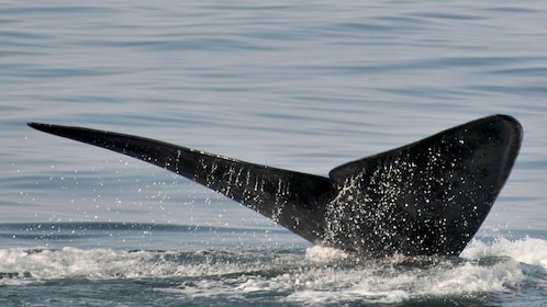 Whale submerging into the ocean in South Africa