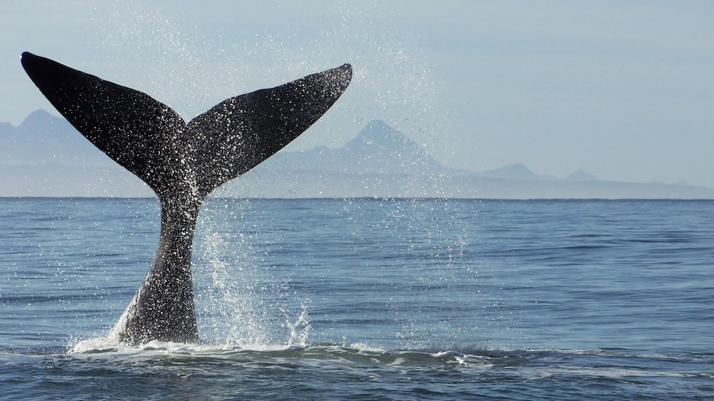 Show item 5 of 10. Whale tale splashing in South Africa
