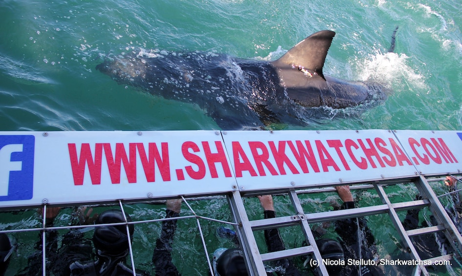 Show item 3 of 10. Great White Shark Cage Diving Full-Day Tour