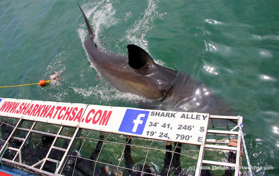 Great White Shark Cage Diving Full-Day Tour