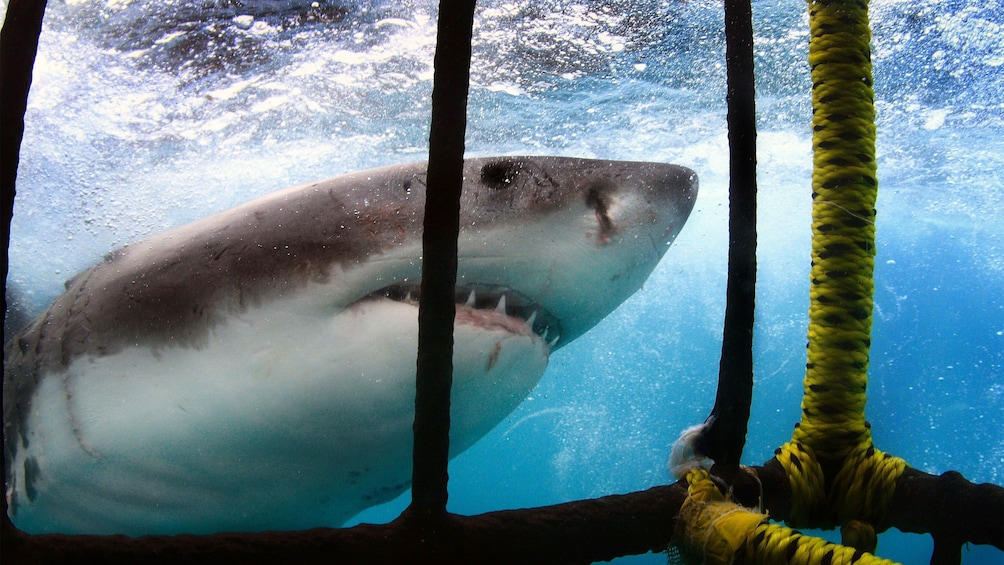 Show item 5 of 5. Great white shark outside of cage in South Africa