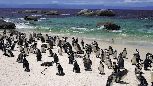Penguins at the beach of South Africa