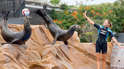 A trainer with two seals performing tricks at Marineland