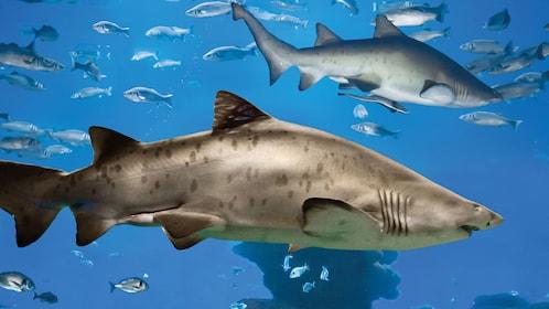 Sharks at the Palma Aquarium