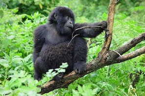 3 Day Gorilla Trekking Budget Safari at Bwindi National Park