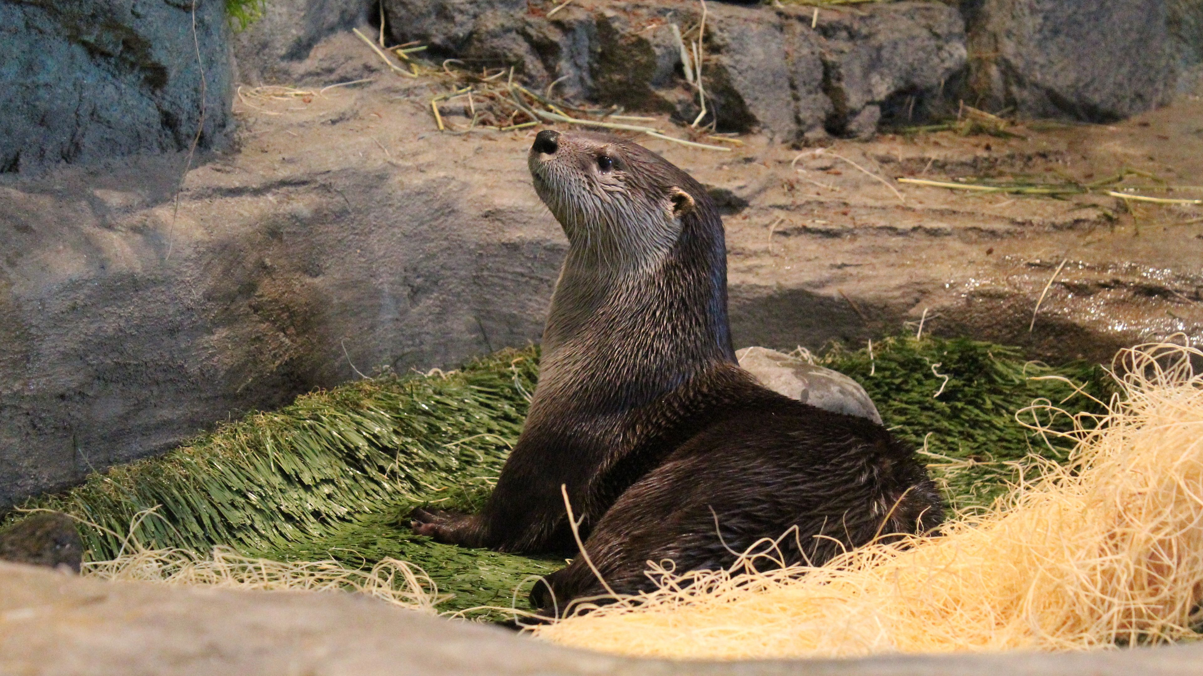 otter laying in nest