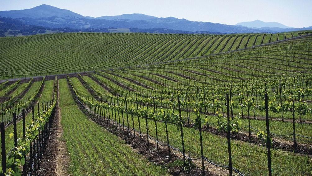 Carregar foto 3 de 10. Napa Valley Vineyard