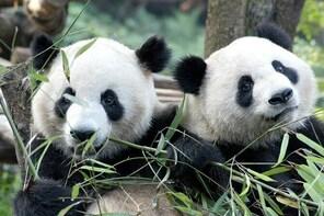 Private Half-Day Chengdu Panda Breeding Centre Tour with Optional Volunteer
