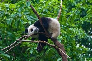 Our Top Panda Volunteering Program at Wolong Giant Panda Nature Reserve