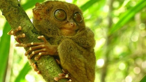 A galago spotted in the trees in Bohol
