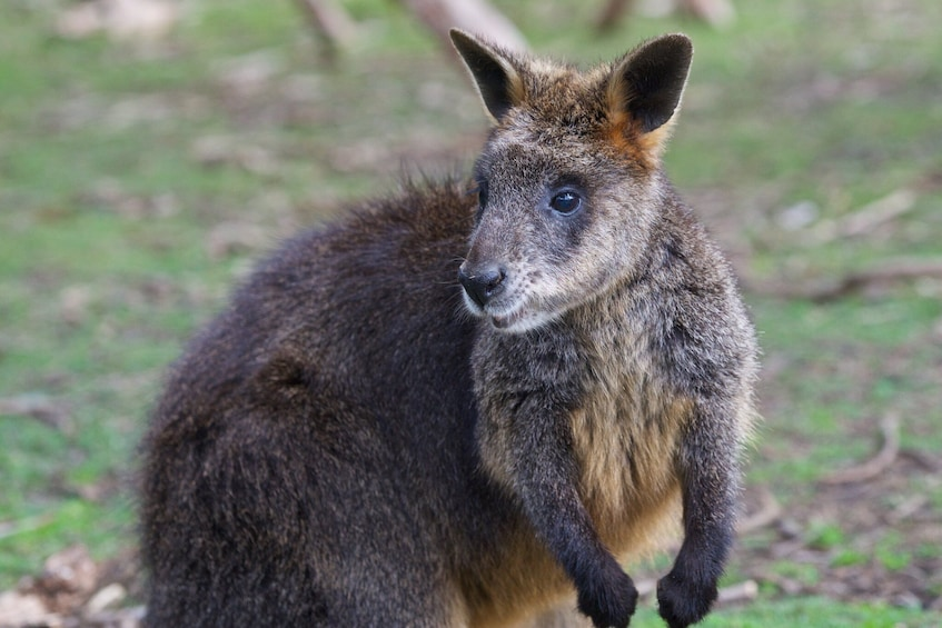 Show item 4 of 8. Private - Phillip Island Tour with Wildlife & Lunch