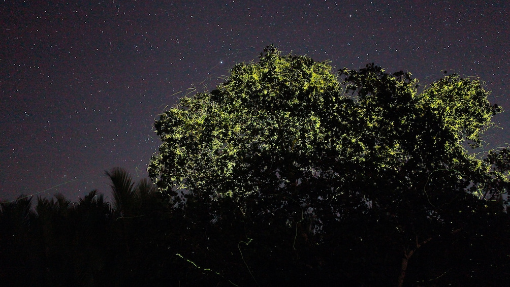 Show item 2 of 5. Spectacular light display from the fireflies in Bohol