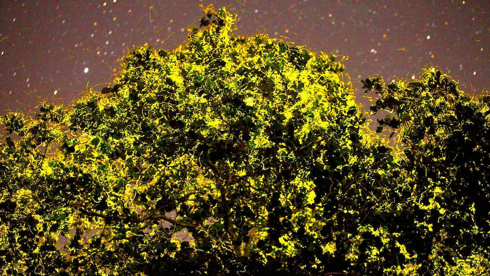 Show item 3 of 5. Fireflies illuminating the trees at night in Bohol