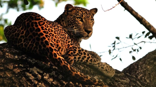 Leopard in a tree in Colombo