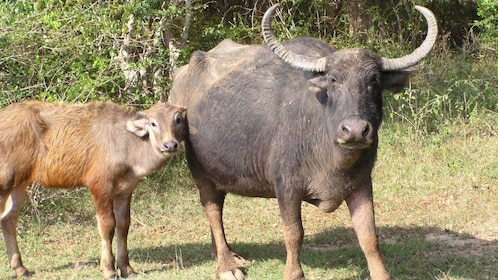 Water buffalo near Colombo