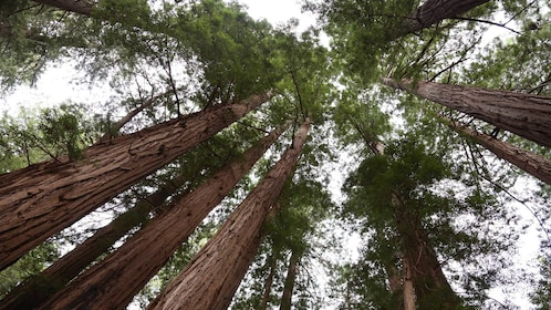 Looking up at majestic redwoods in the Muir Woods