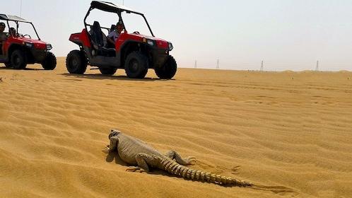 sand buggies drive past desert lizard in Dubai