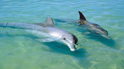 Dolphins swimming in the crystal-blue waters of Port Stephens