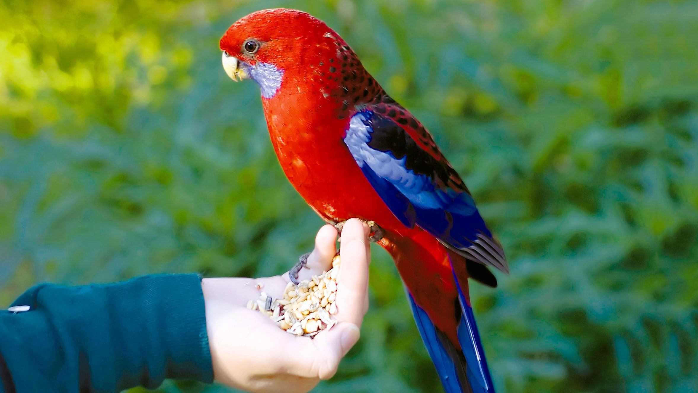 Hand feeding exotic birds in Australia