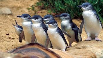 Phillip Island Penguins, Kangaroos & Koalas Tour