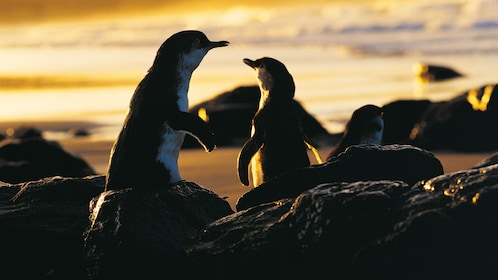 Two penguins at the beach on Phillip Island