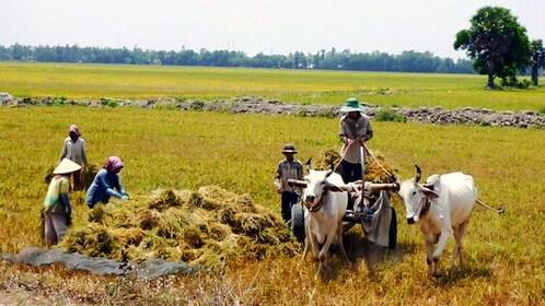 Farmers gathering crops in Nha Trang