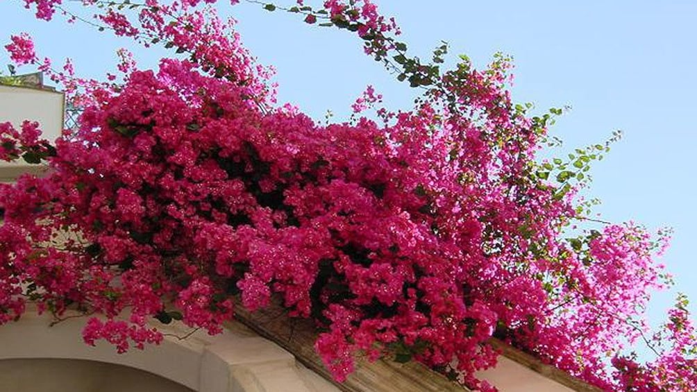 Apri foto 2 di 5. flowers blooming at Lecce in Italy