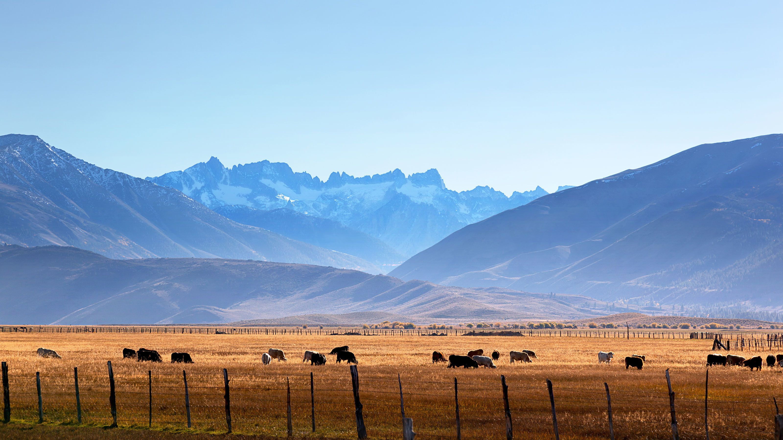 Mountains and cows grazing in a field in Utah.