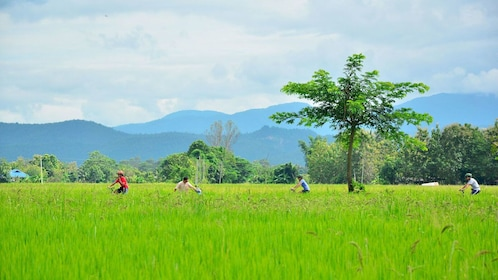 Bicycle group riding through farm fields in Thailand
