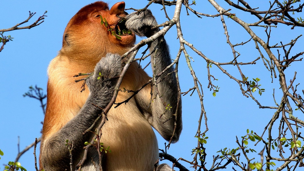 Show item 5 of 5. Proboscis Monkey eating from a branch in Brunei