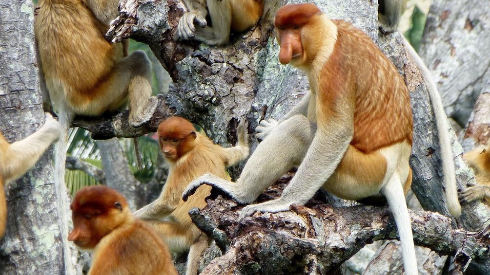 Show item 4 of 5. Many Proboscis Monkeys on a tree in Brunei