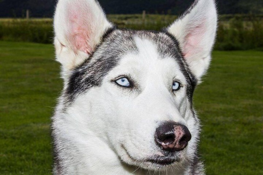 Show item 2 of 11. Husky Petting and Pictures in Akureyri