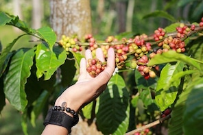 Eco Kawisari Plantation Coffee Journey