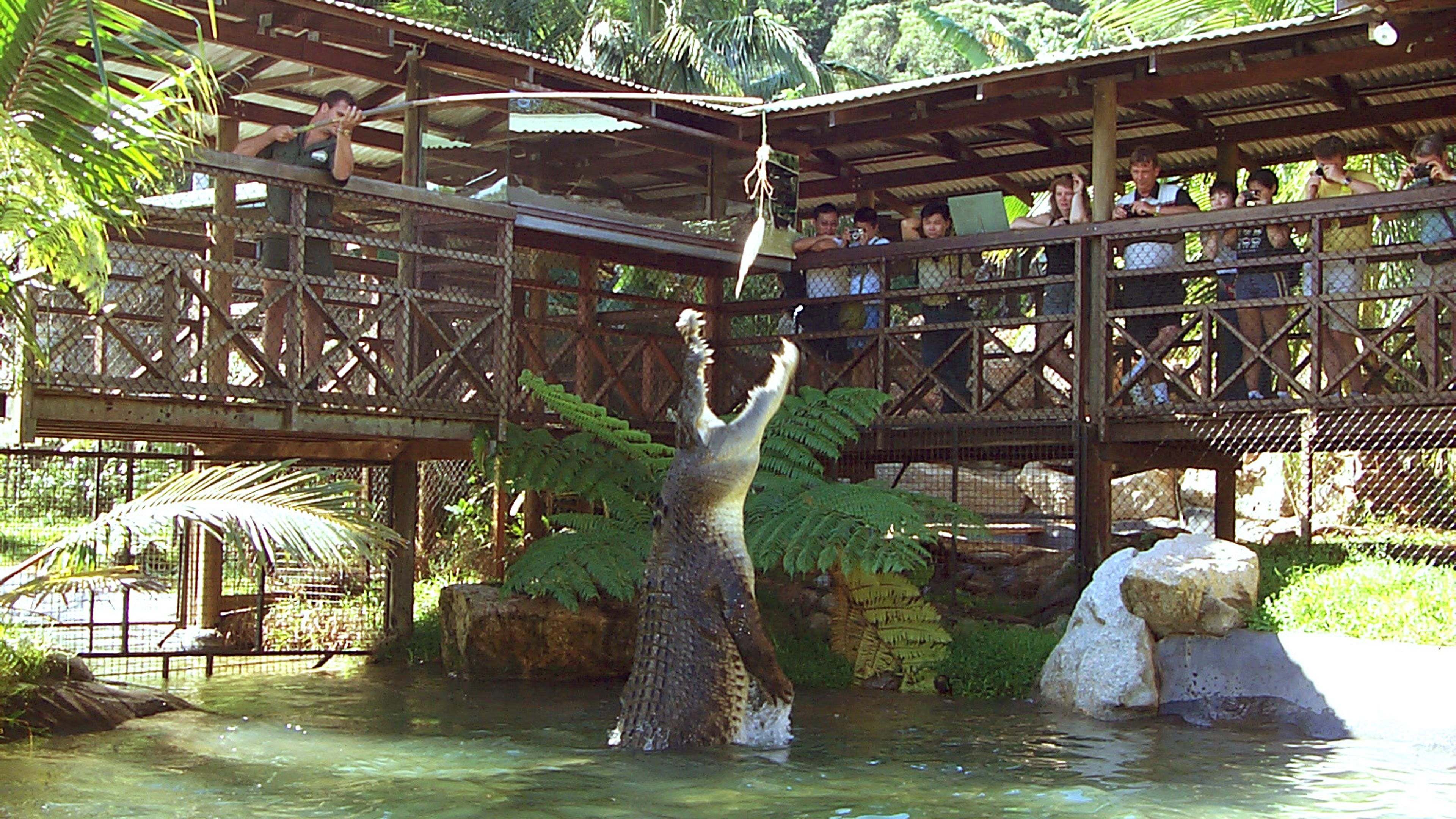 A crocodile jumping out of the water for food at the Rainforestation Nature Park