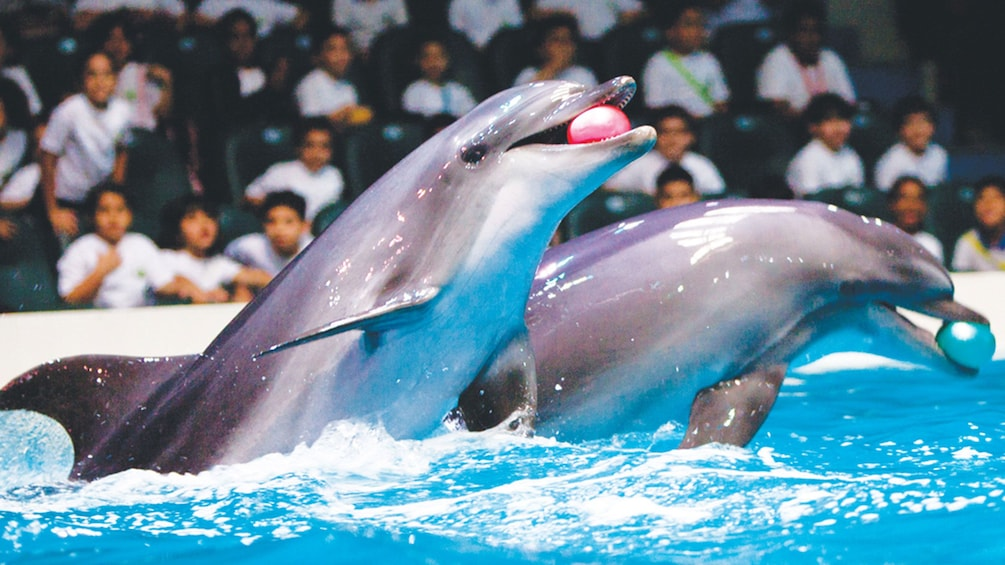 Show item 1 of 5. Two dolphins catching balls at the Dolphinarium in Dubai