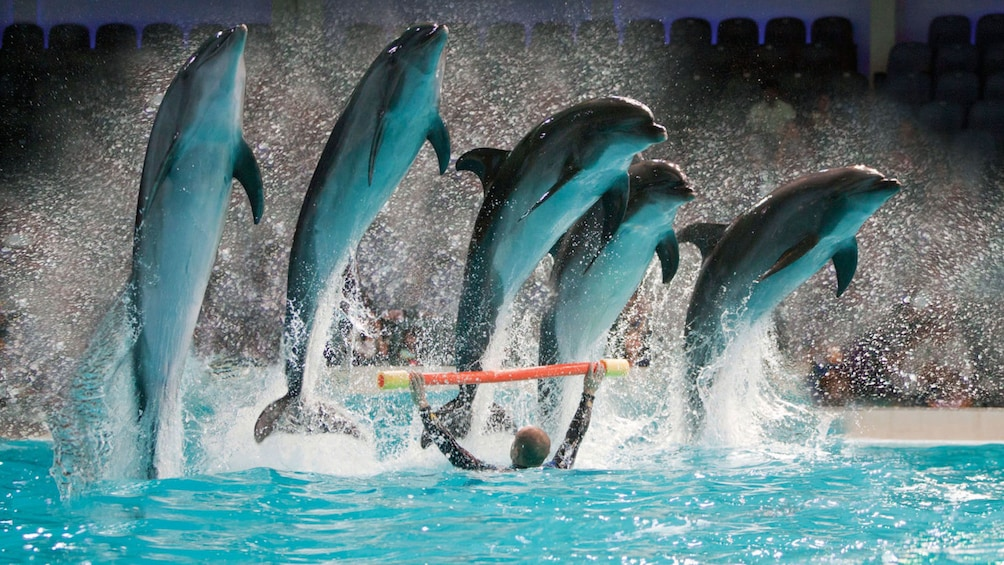 Show item 3 of 5. Five dolphins leaping over a pole at the Dolphinarium in Dubai