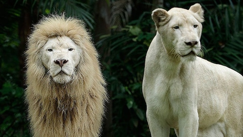 Male and female white lions at the Night Safari in Singapore