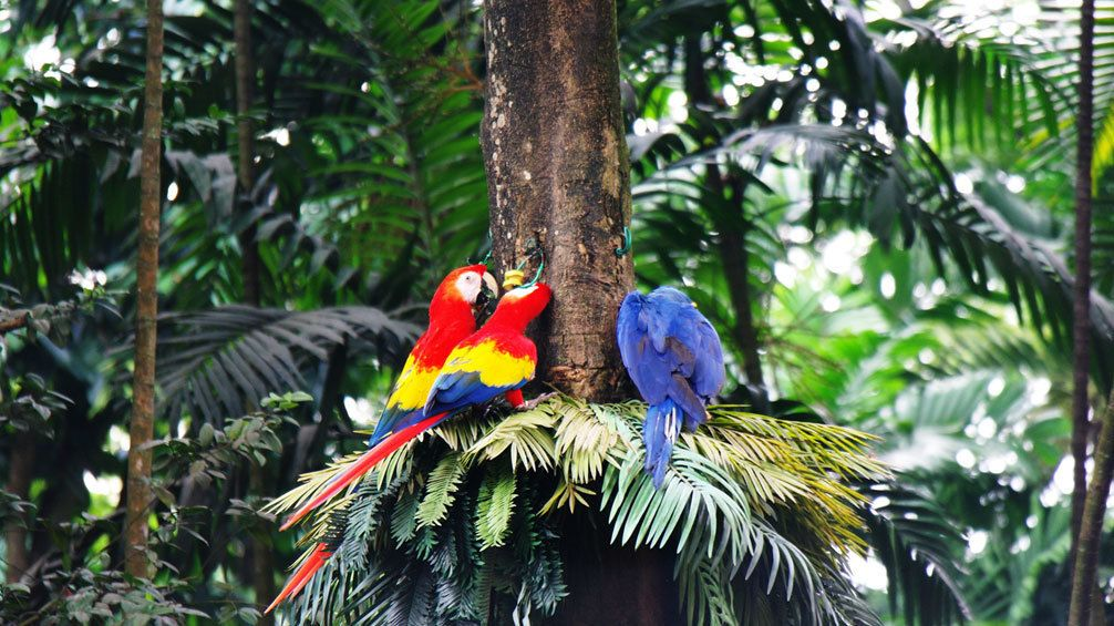 Two macaws with a blue macaw in a tree at the Jurong Bird Park in singapore