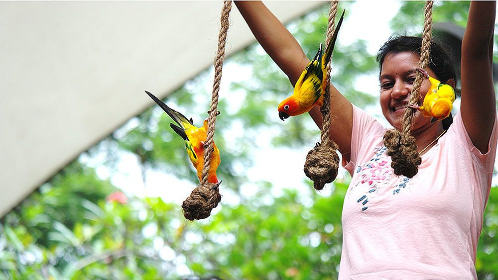 Three sun conure birds on ropes with knots with trainer at the Jurong Bird Park in singapore