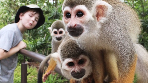 Three squirrel monkeys and a boy at the River Safari in Singapore