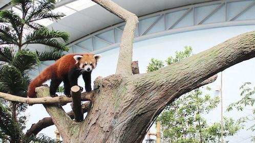 Red Panda in a tree at the River Safari in Singapore