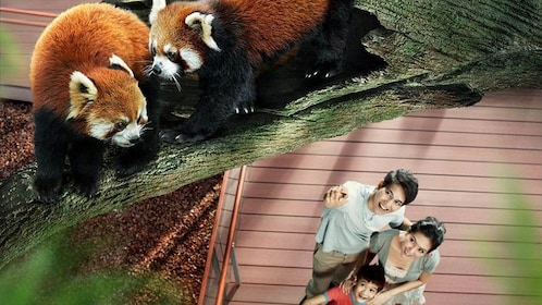 Aerial of two red pandas in a tree with family with young child looking up at them in Singapore