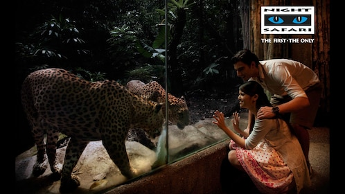Couple looking at a couple of leopards near the glass at the Safari expedition tour in Singapore