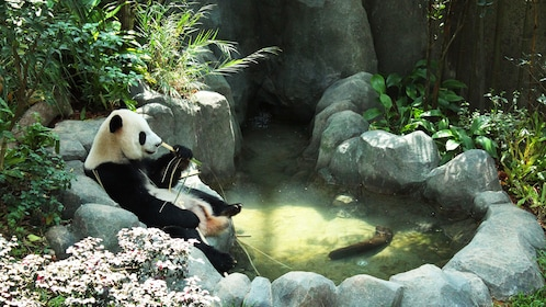 giant panda bear eating bamboo near water pool in their habitat at the safari expedition in singapore