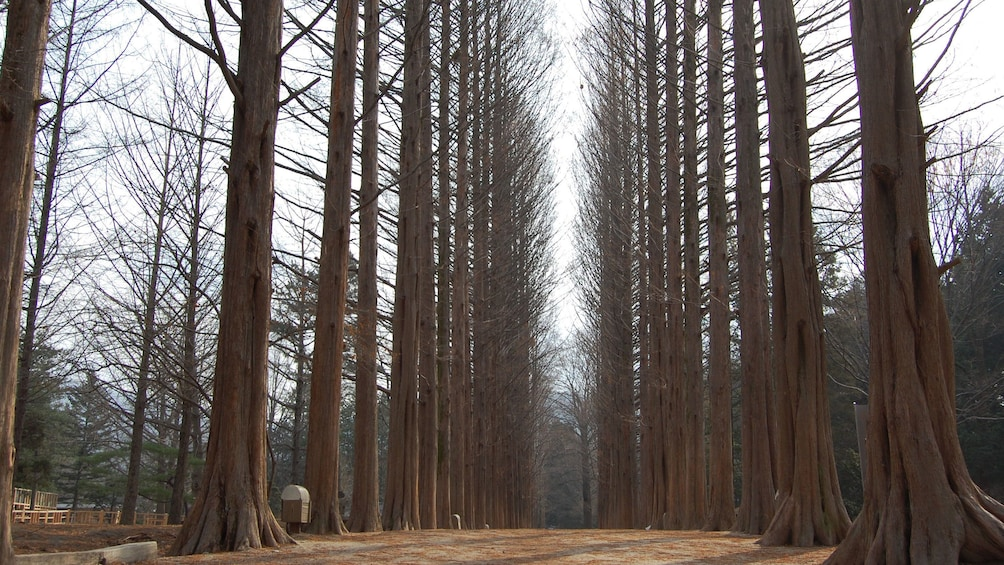 Show item 2 of 6. Forest of tall bare trees in Seoul