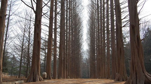 Forest of tall bare trees in Seoul