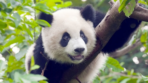 Panda cub spotted at Guangzhou in Hong Kong