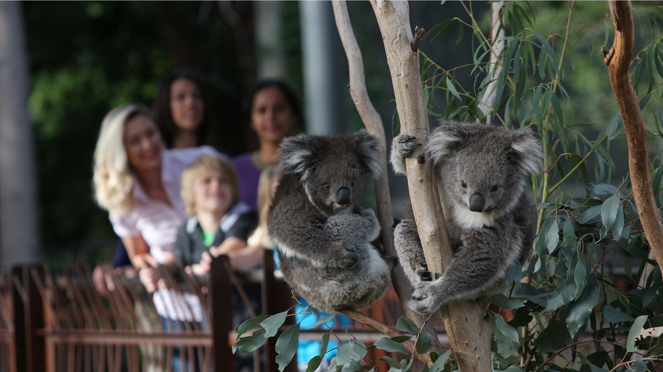Visitors looking at koalas at the Melbourne Zoo in Australia