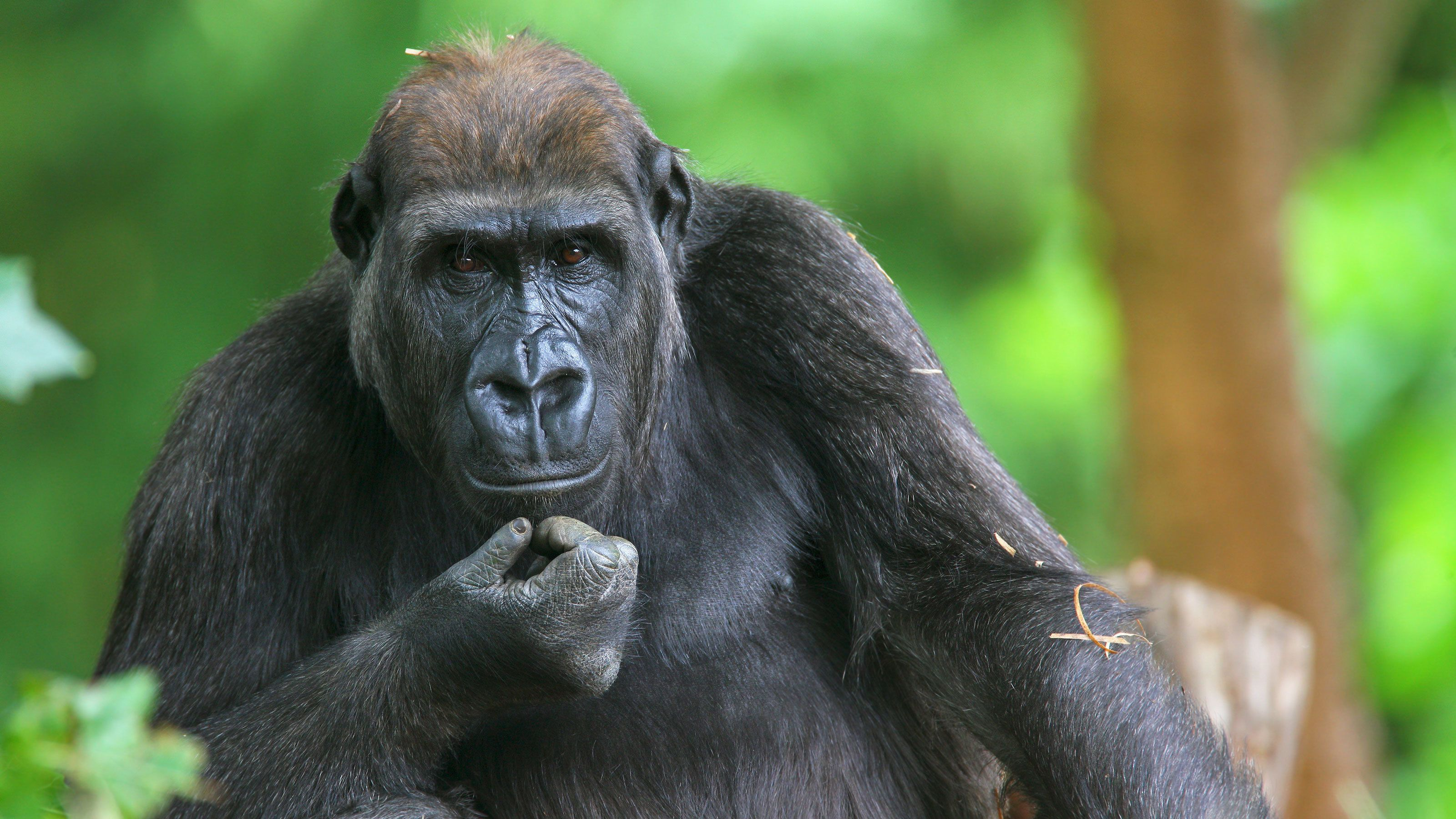 Gorilla at the Melbourne Zoo