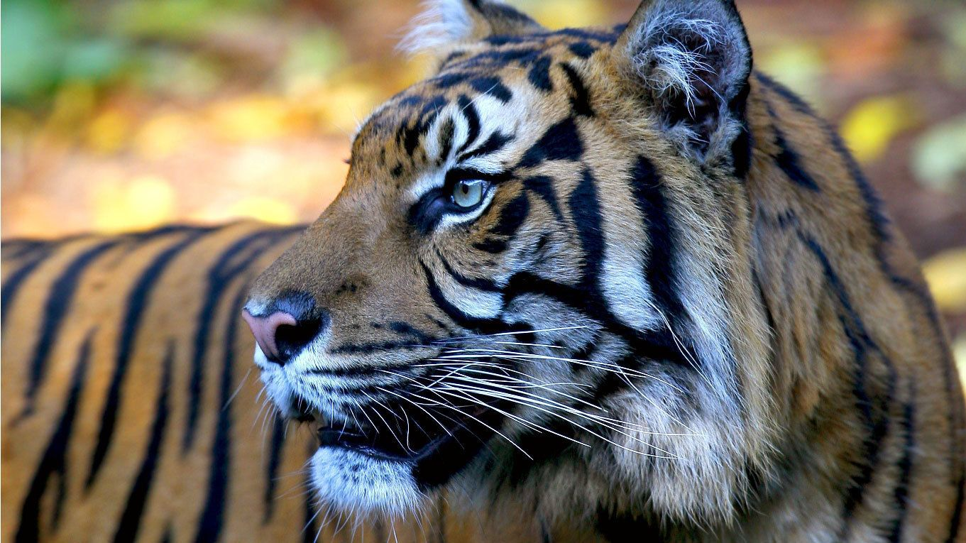 A bengal tiger at the Melbourne Zoo in Australia